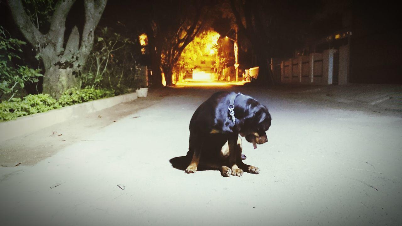 Vanishing Point Night Lights On The Road Rottweiler