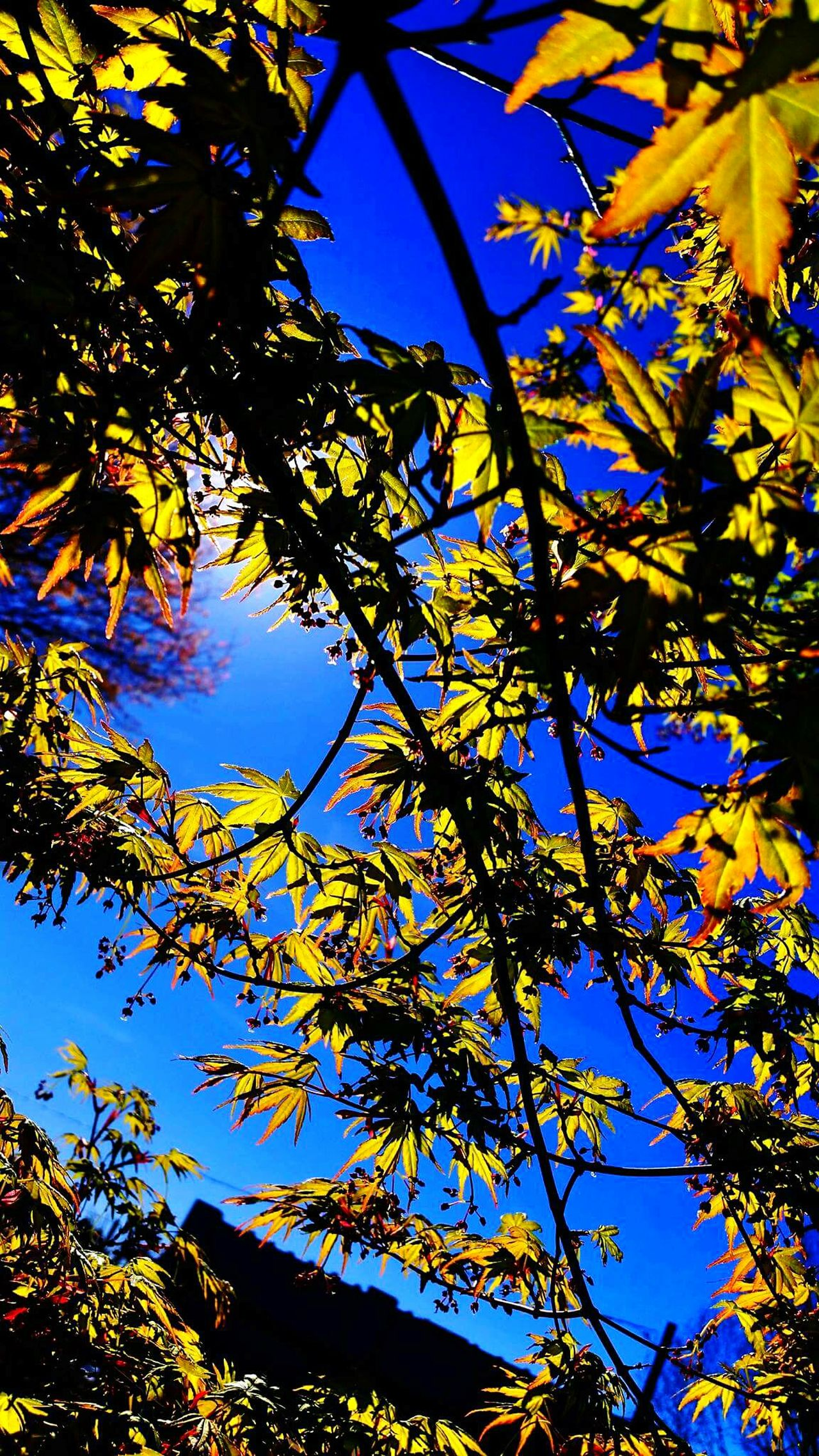 Maple trees my favorite. Epic Shot Photography Gettyimage Getty X EyeEm Northwestnature EyeEm NaturesNirvana Nationalgeographic Gettyimagesgallery Buyme Gettyimagesinstagramgrant Wild & Pure Treetastic For The Love Of Trees ~ King5spring Protecting Where We Play EyeEm Nature Lover Getty X EyeEm Images Nature_collection Landscape_collection EyeEmNatureLover Q13spring EyeEmxGettyImages Getty Images Getty & Eyeem Grants For Photographers Springtime ,march Showcase EyeEm Gallery
