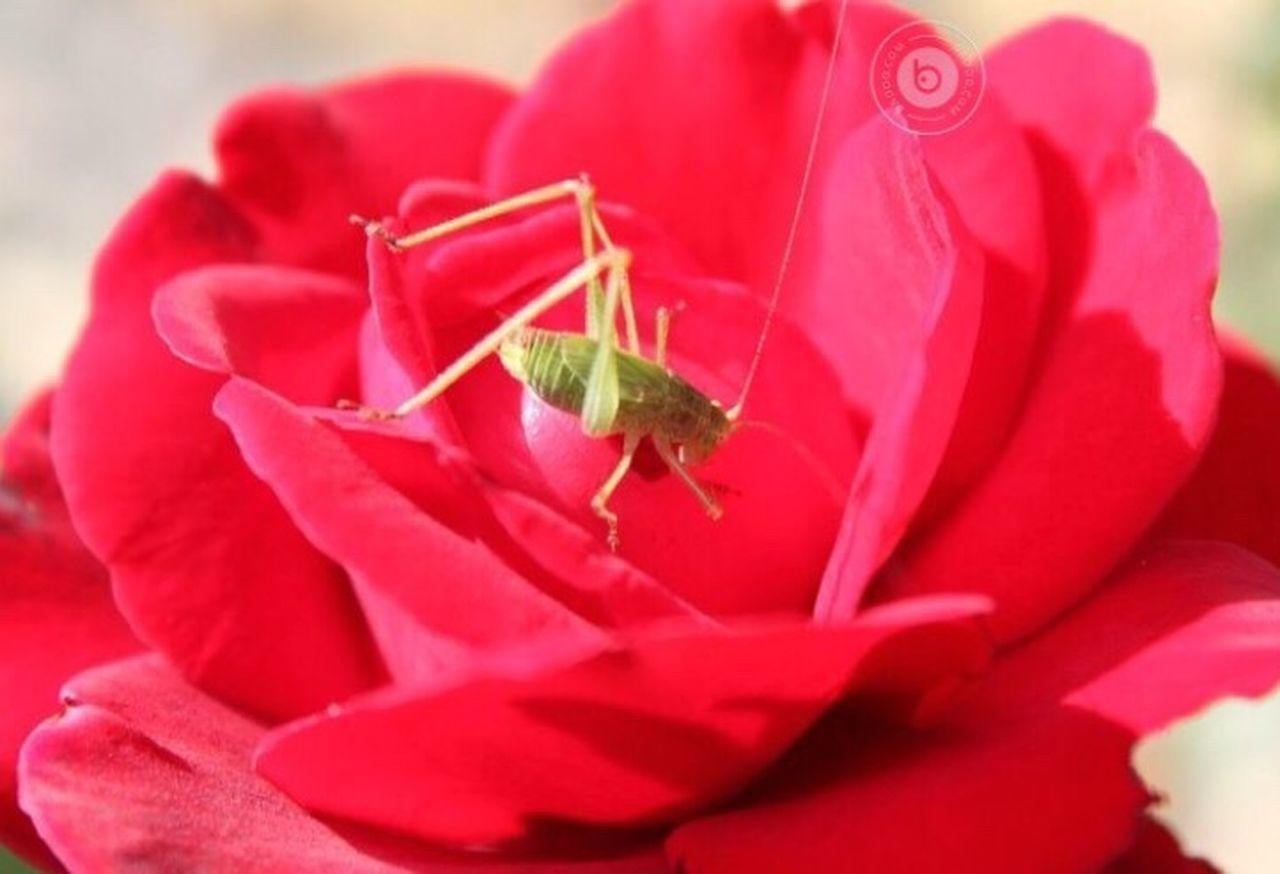 Flowers Rosas🌹🌹 Red Cavalletta v Verde Animals Hello World Taking Photos Fotografia Photography EyeEm Gallery I LIKE👍EyeEm😃👍 Galleria Fotografica Italy Italian Beautiful IPhone Colors Rosas Nature_collection
