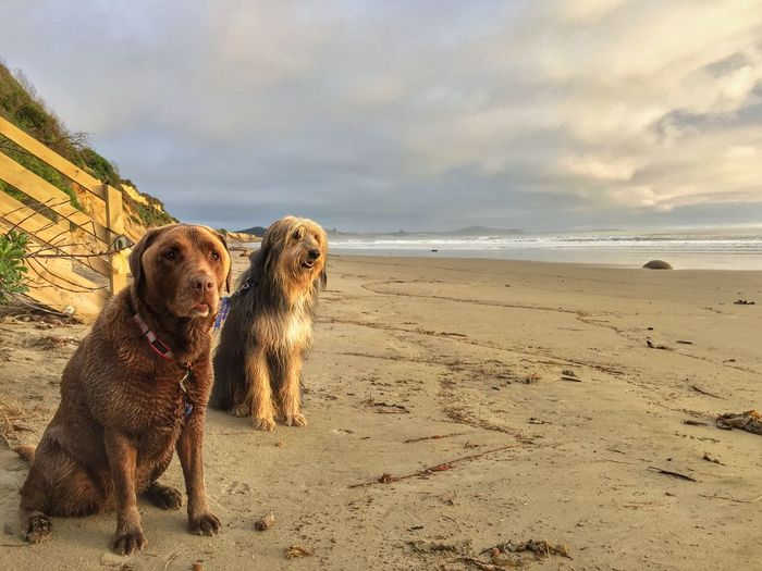 Dog Domestic Animals Animal Themes Pets Beach Sea Sky Sand Nature Horizon Over Water Cloud - Sky Water No People Outdoors Huntaway Beardy Chocolate Labrador Chocolate Lab Day Beauty In Nature Sunrise Such amazing light at sunrise this morning.