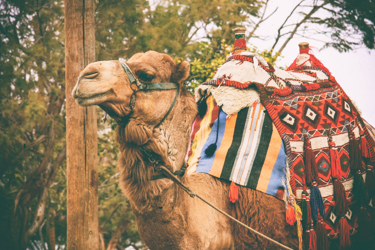 Beautiful stock photos of hump day,  Bactrian Camel,  Camel,  Day,  Domestic Animals