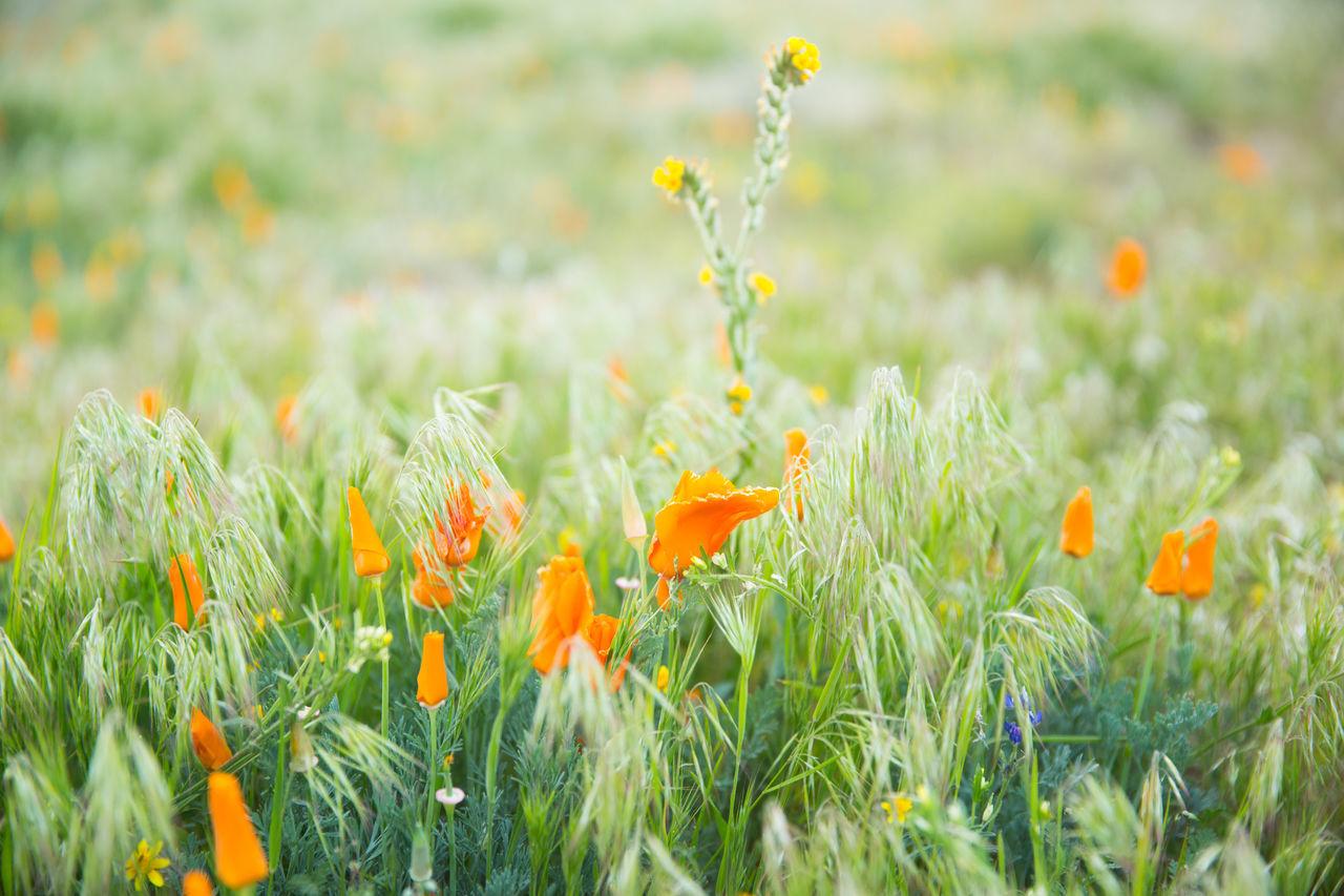Beauty In Nature Field Flower Flower Field Fragility Grass Nature Orange Flowers Outdoors Plant Poppy Poppy Field Spring Spring Blooms Wildflower Field Wildflowers Wildflowers In Bloom