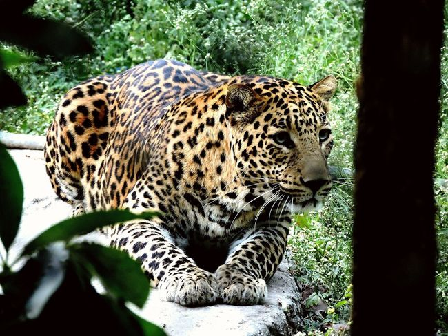 Focus. Animal Themes Leopard One Animal Spotted Animals In The Wild Mammal Outdoors Nature Day No People