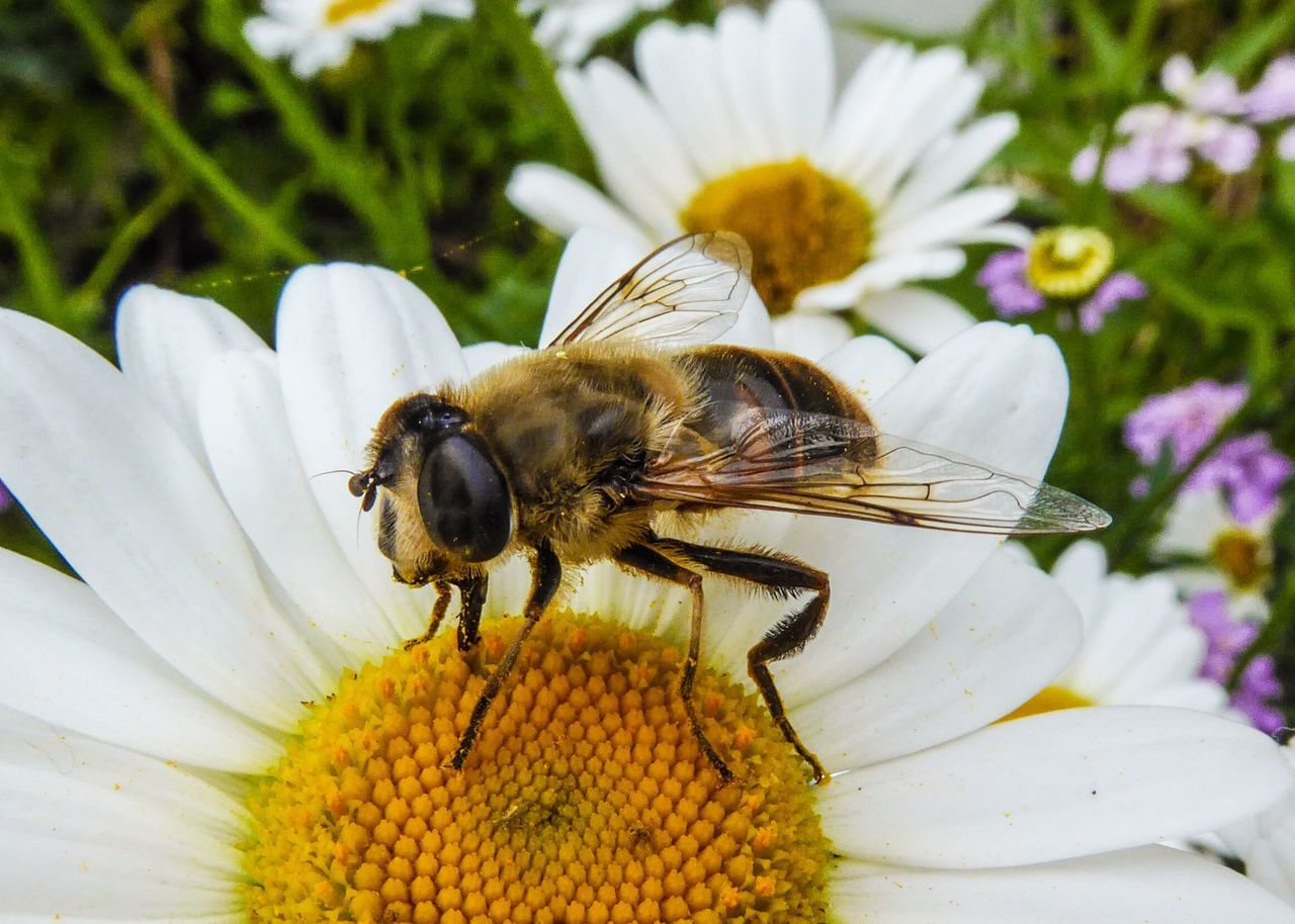 Bee HoneyBee Honey Bee Insect Macro Nature Nature Photography Countryside Depth Of Field Daisy Daisies Flowers