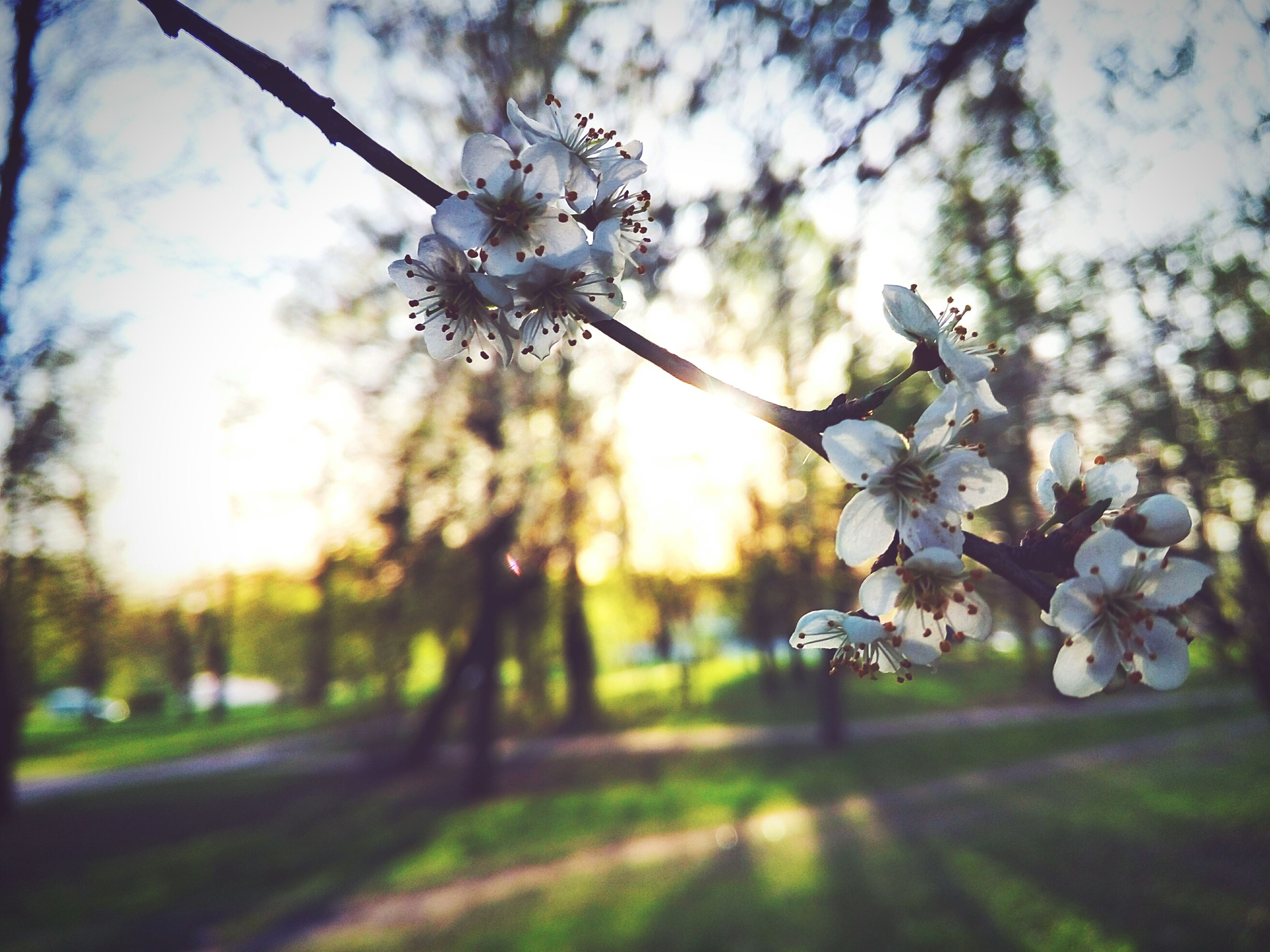 flower, tree, white color, focus on foreground, growth, freshness, nature, fragility, sky, day, beauty in nature, park - man made space, outdoors, branch, close-up, cherry blossom, no people, sunlight, blossom, blooming