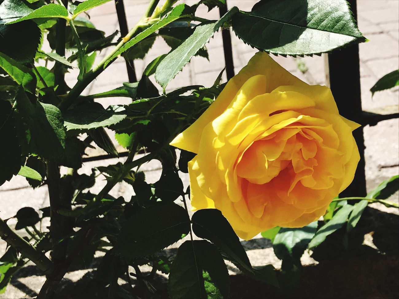 I fiori hanno un' influenza misteriosa e sottile sui sentimenti, analogamente a certe melodie musicali. Rilassano la tensione della mente. Dissolvono in un attimo la sua rigidità. (Henry W. Beecher) Flower Roses Yellow Rose