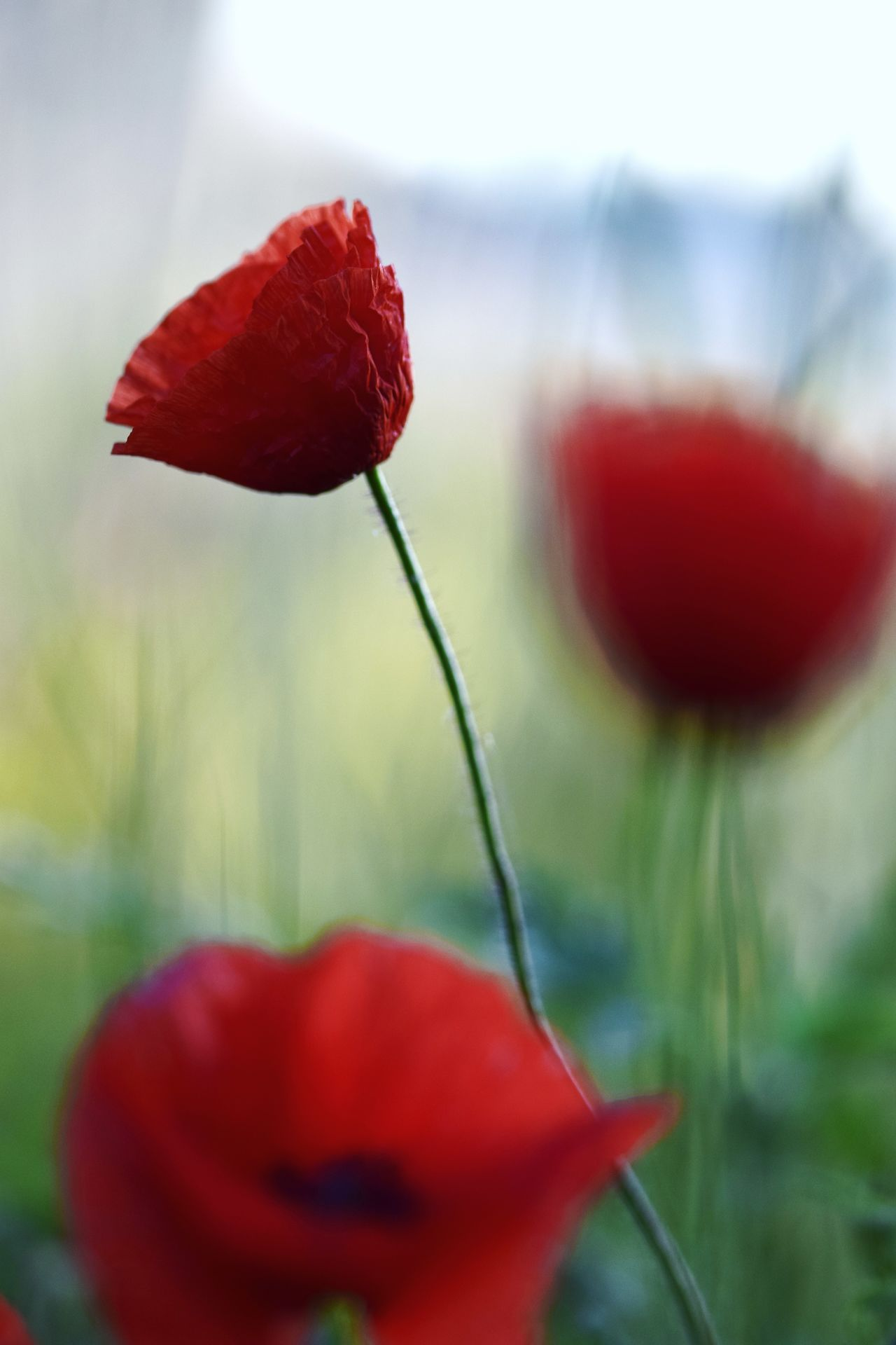 Poppyemania Beauty In Nature Blooming Close-up Day Flower Flower Head Focus On Foreground Fragility Freshness Growth Nature No People Outdoors Petal Plant Poppies, Poppies Will Put Them To Sleep...sleep, Now They'll Sleep Poppy Red Springtime