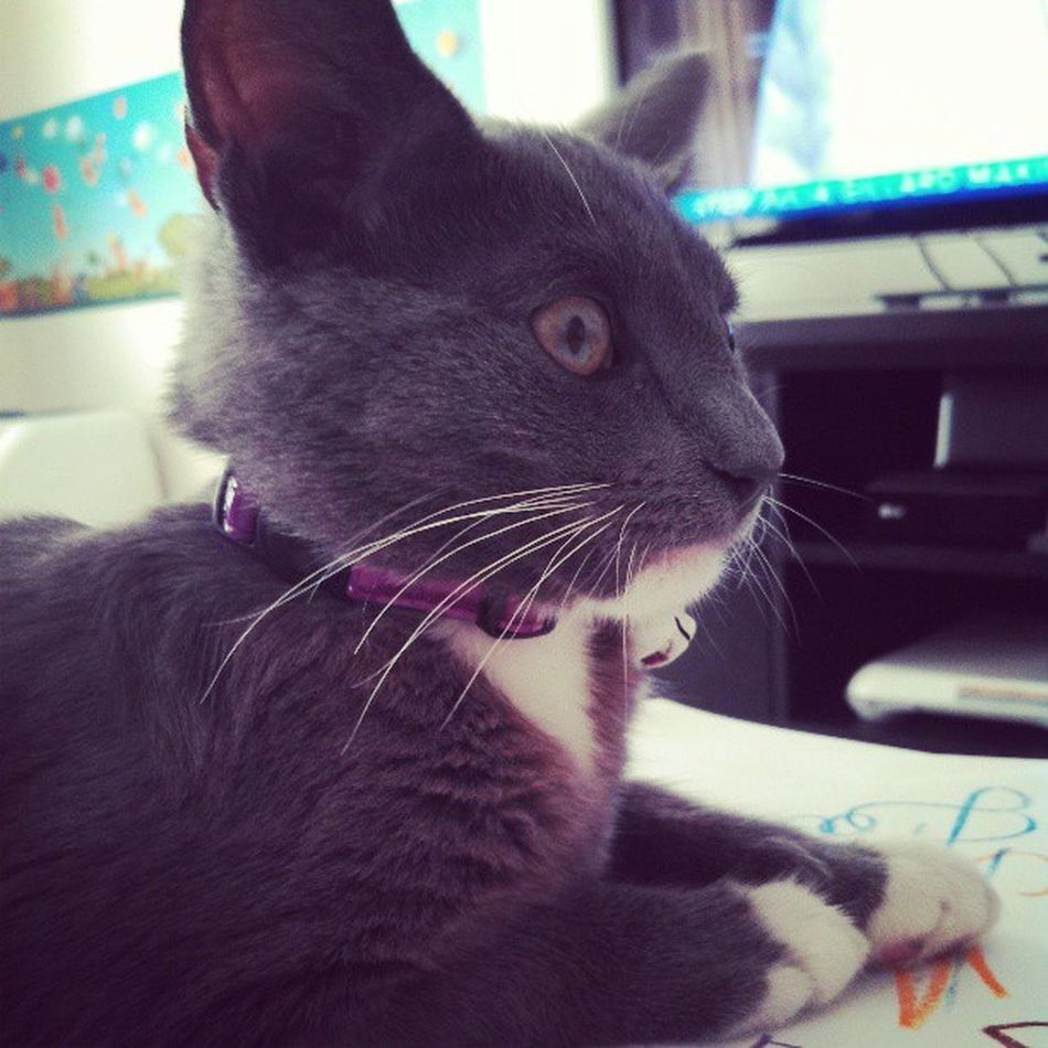 Mercy Instakitten Kitty Pets Pets Cats RussianBlue Pics Pictimes GoodTimes Photomoments Shocked SurprisedShot Ig23c0m