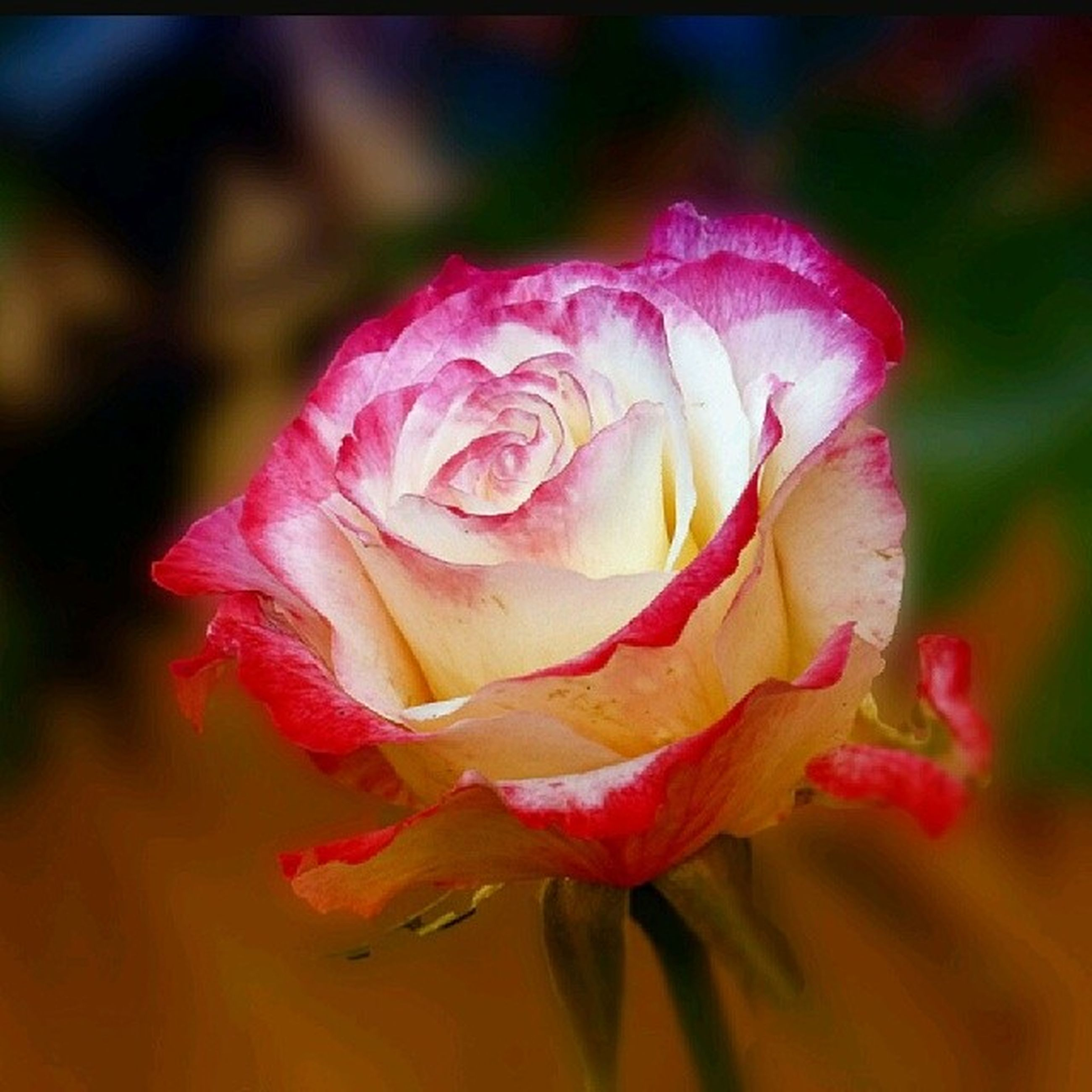 flower, petal, flower head, fragility, freshness, close-up, beauty in nature, single flower, rose - flower, growth, focus on foreground, blooming, nature, pink color, in bloom, plant, selective focus, blossom, rose, day