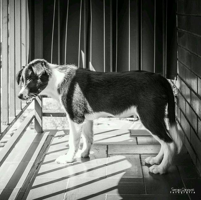 Ender se hace mayorcito! Border Collie Puppy Blackandwhite