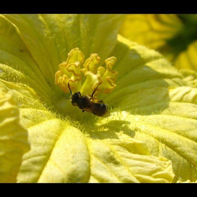 _Cucurbita pepo_ Courgette Zucchini male flower Pollinators Veggies
