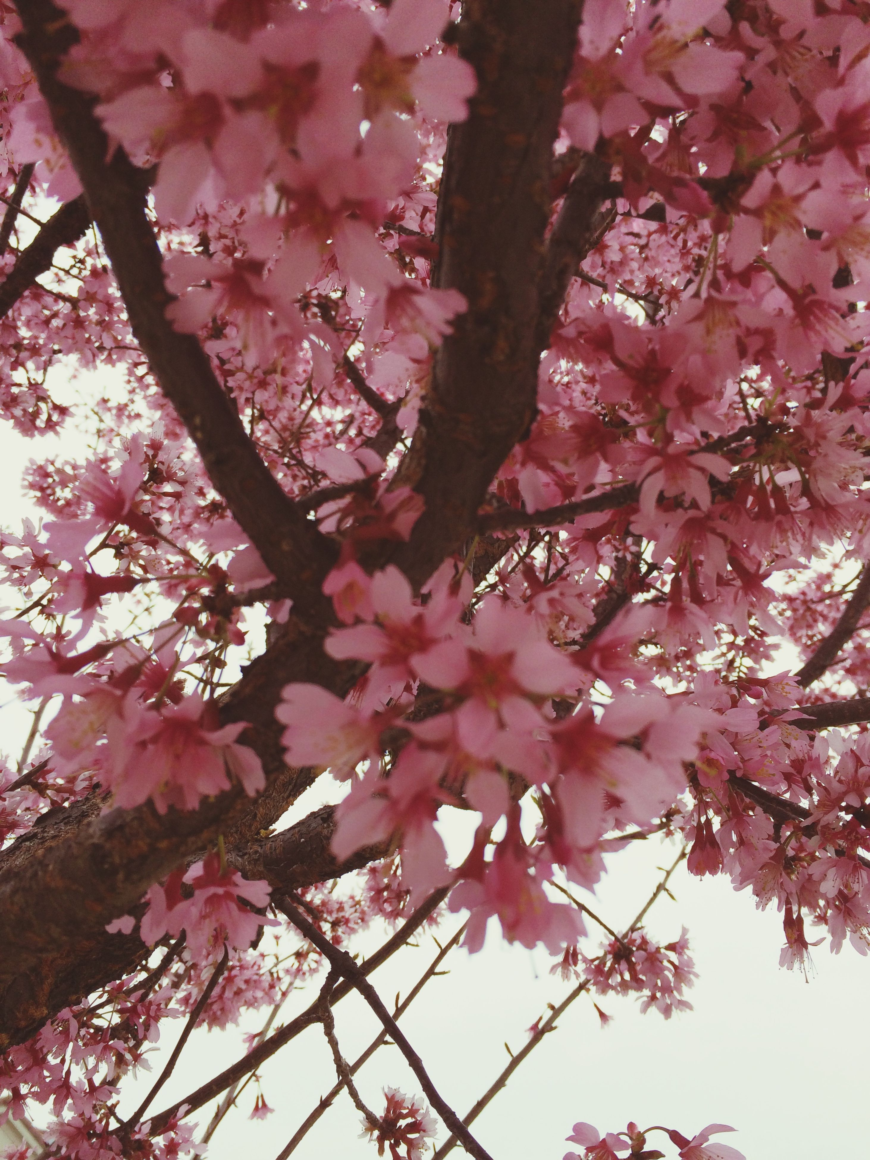 flower, tree, freshness, branch, pink color, growth, beauty in nature, low angle view, fragility, blossom, cherry blossom, nature, cherry tree, pink, springtime, in bloom, blooming, petal, outdoors, day