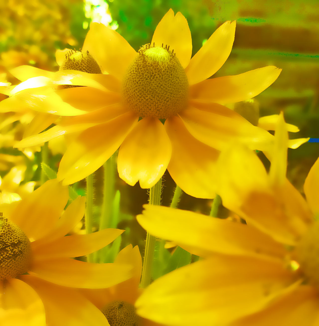 Beautiful Nature Crystal Like Filtered Image Flower Flower Head Outdoors Petal Yellow