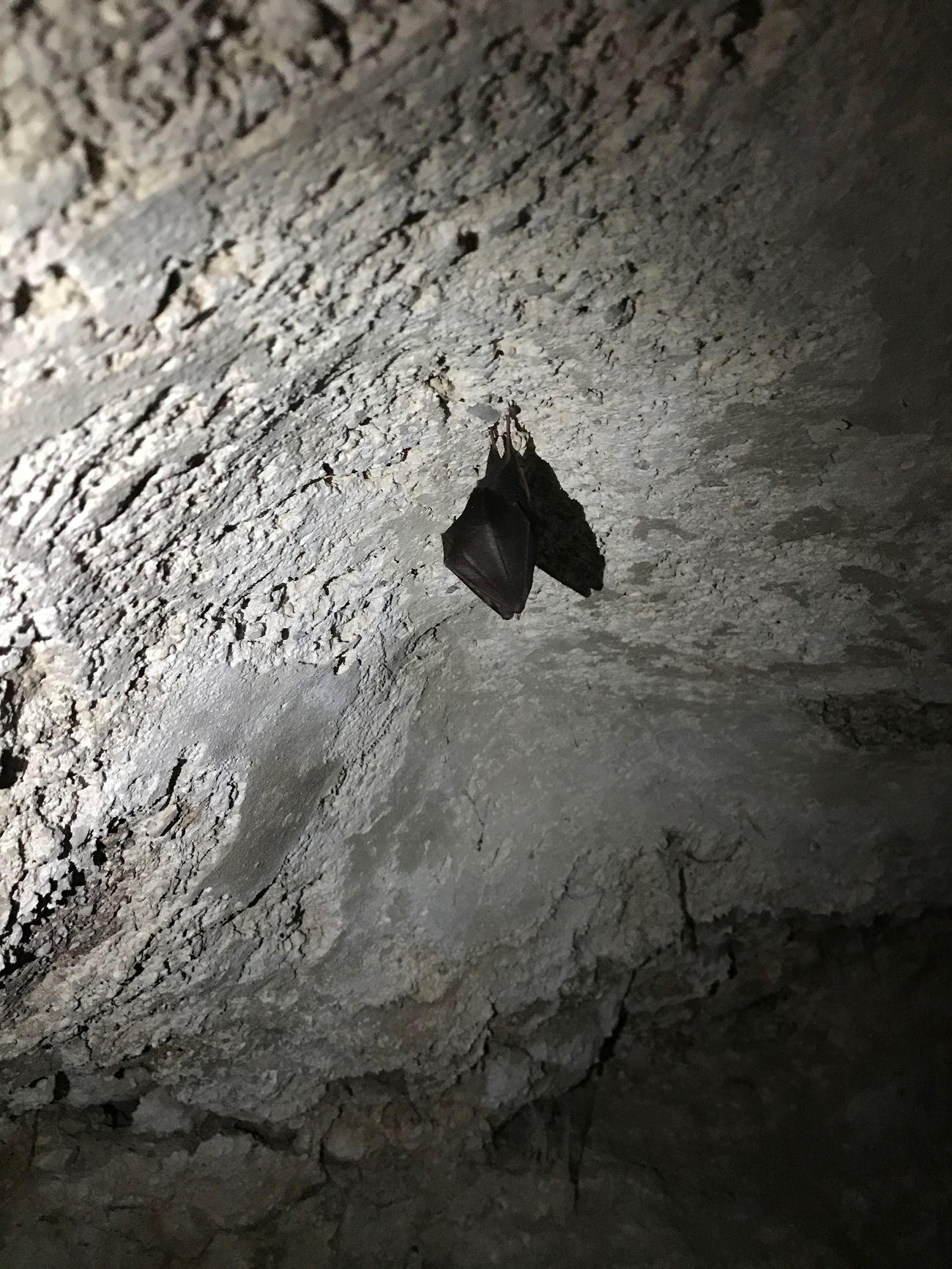 Bat at Juses cave