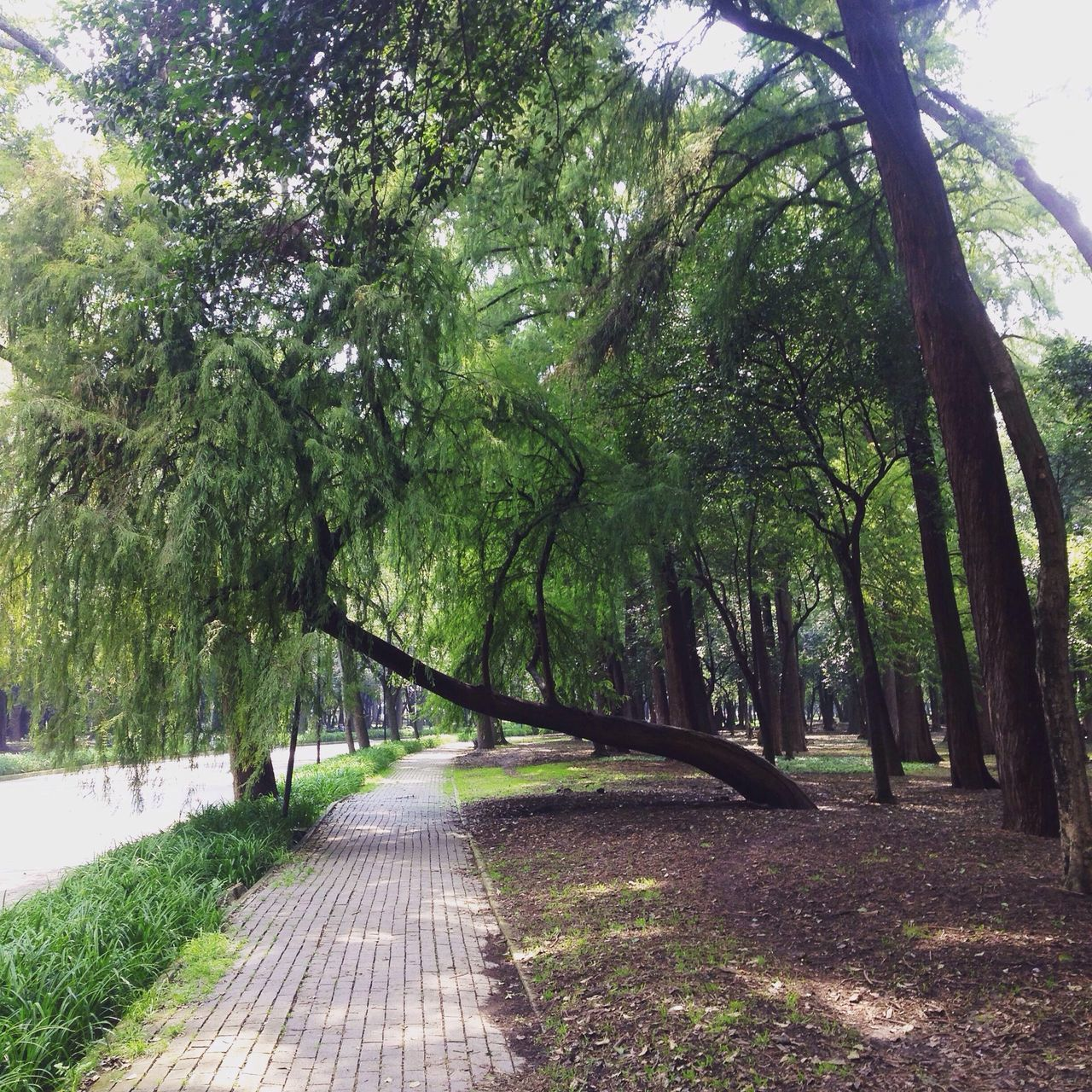 Tree Nature The Way Forward Growth Outdoors No People Day Landscape Beauty In Nature View Trees Branch Freshness Mexico City Cdmx Chapultepec Latin America