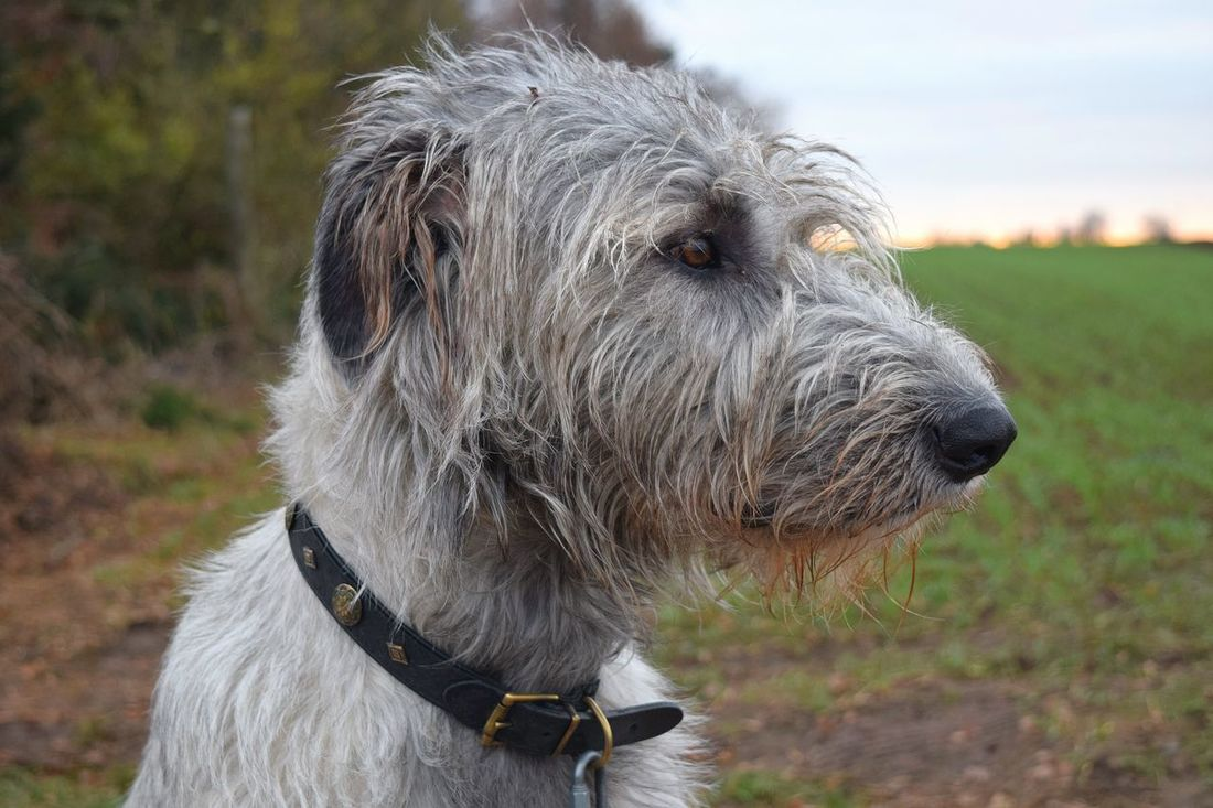 One Animal Focus On Foreground Domestic Animals Close-up Outdoors Showcase December December 2016 How's The Weather Today Autumn 2016 The Places ı've Been Today Dog Of My Life Dog Of The Year 2016 Dog Of The Day Dogs Of Winter Dogwalk Dogs Of EyeEm Irish Wolfhound Petscorner Dogslife Cearnaigh Bokeh
