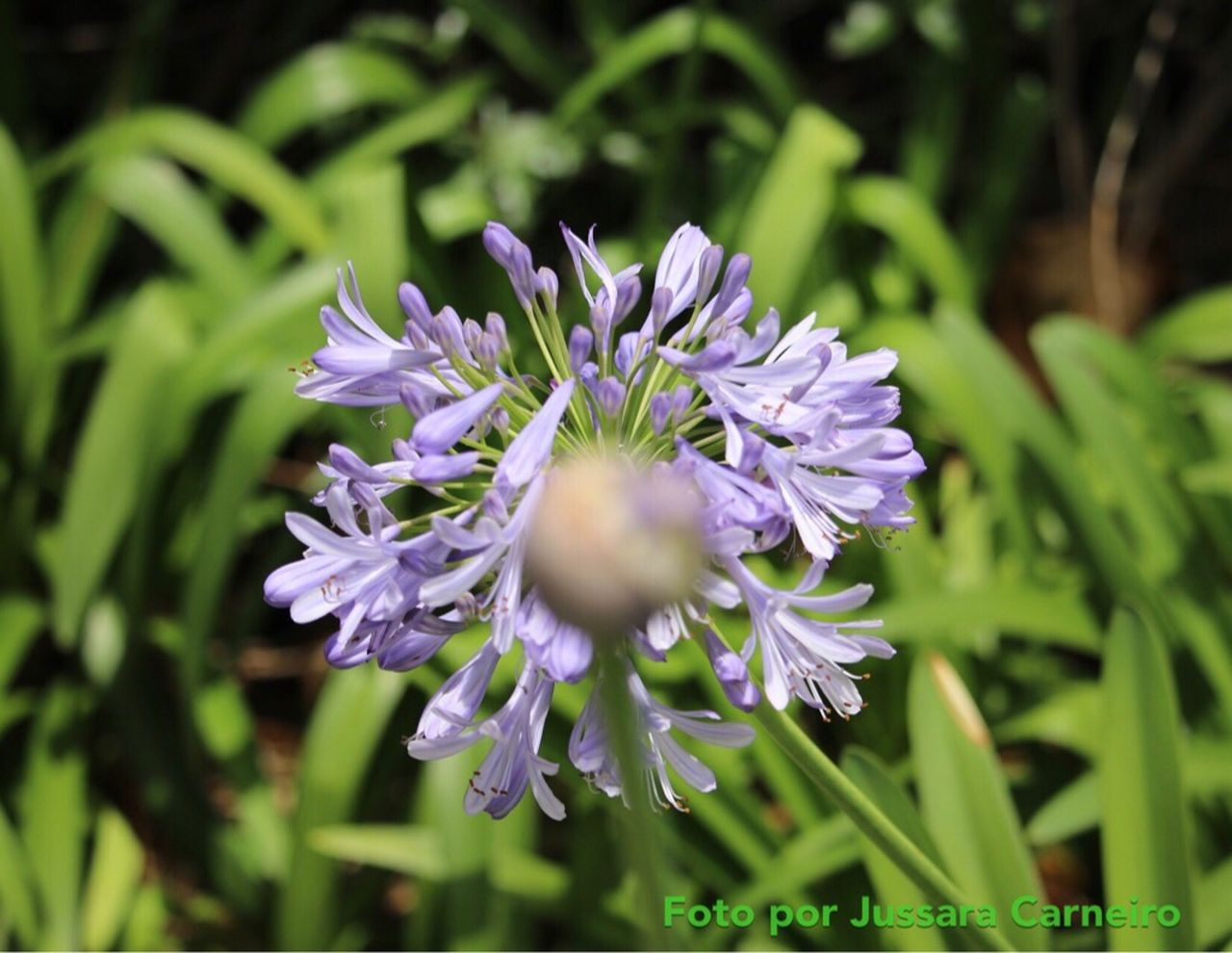 55-250mm Agapanthus Canon 70d Flower Close-up Agapanto Focus On Background