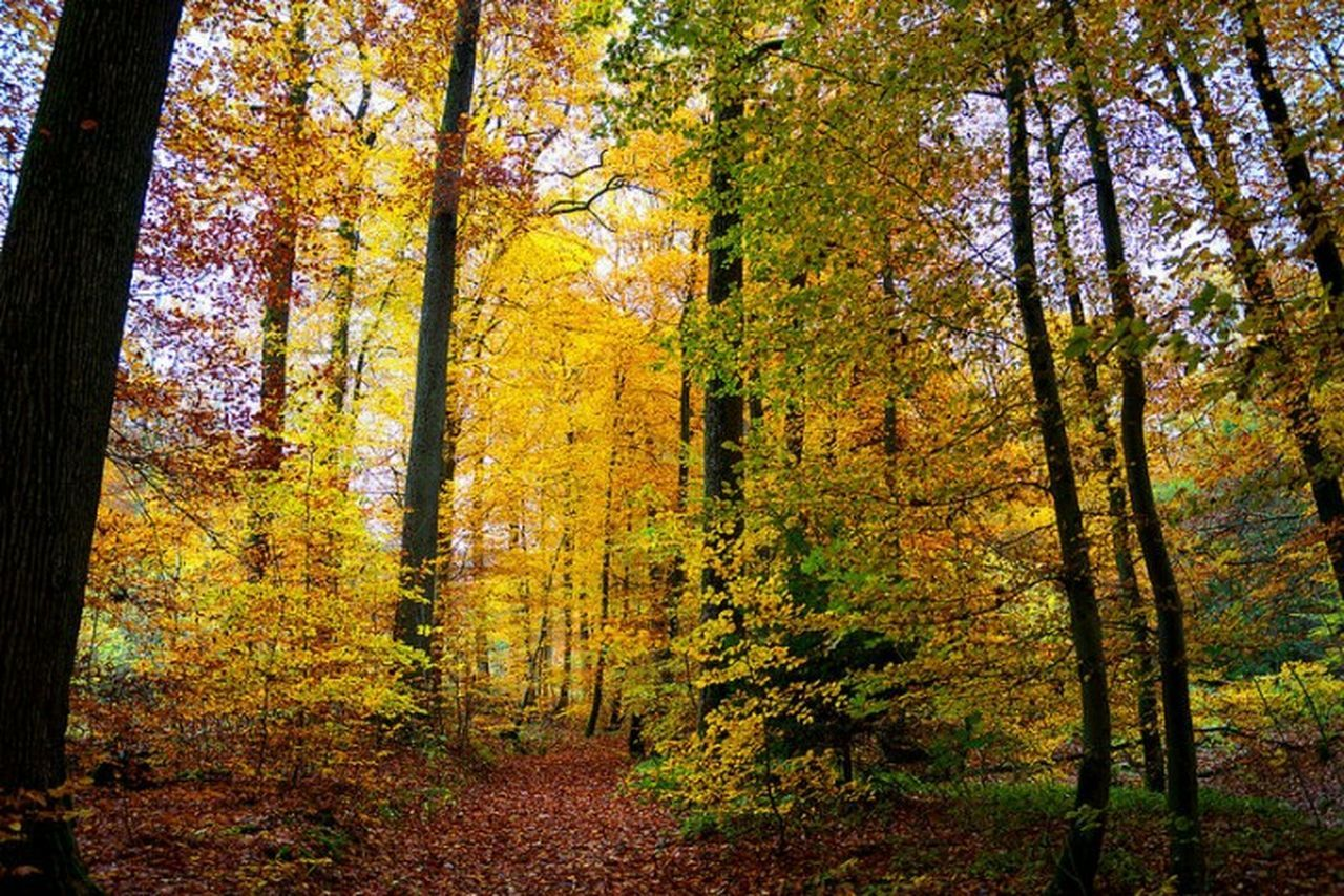 Goldener Spätherbst, Tree Nature Forest Outdoors Autumn Tranquility Tree Growth Nature Autumn No People Beauty In Nature Change Forest Day Scenics Yellow Tranquility Outdoors