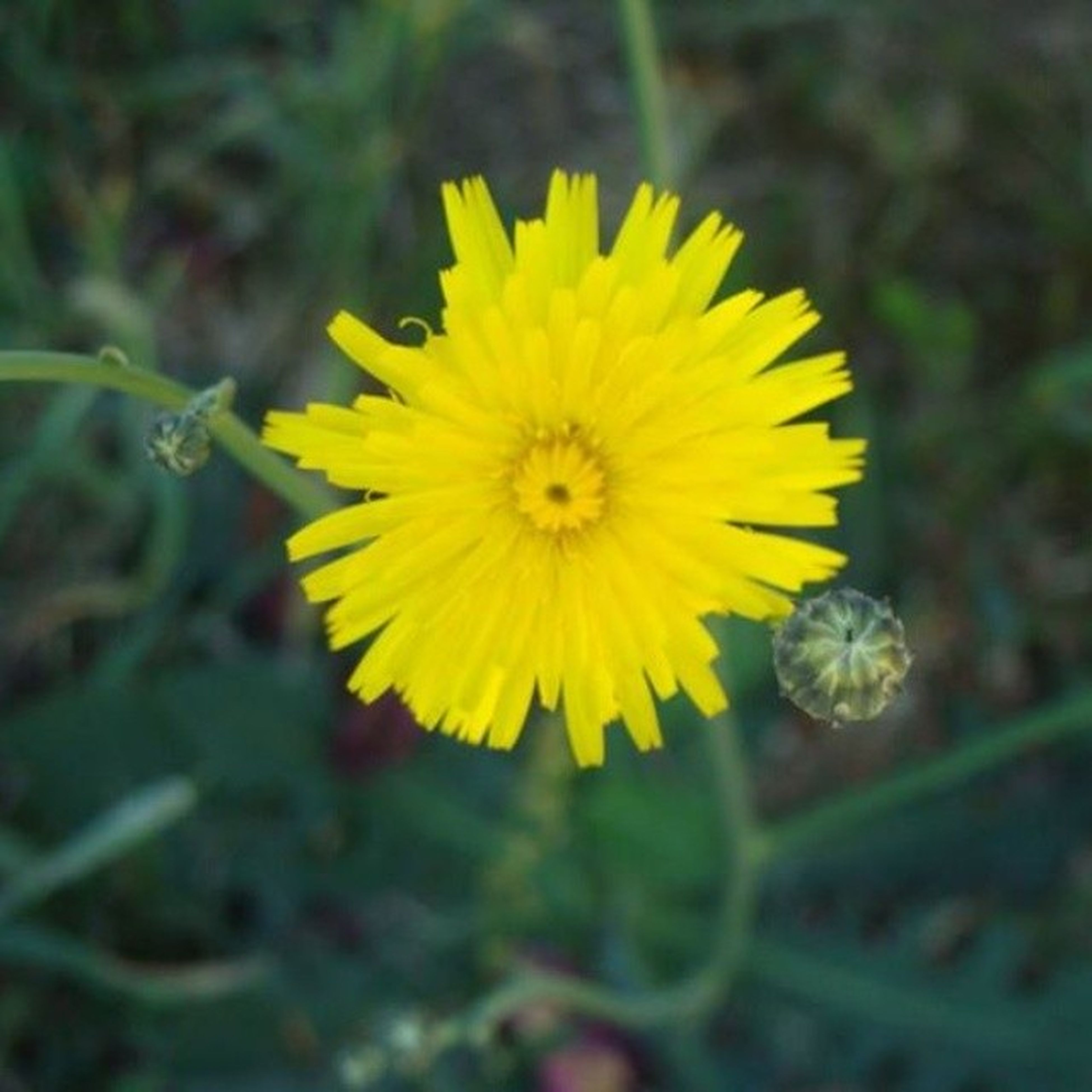 flower, yellow, freshness, petal, fragility, flower head, growth, close-up, beauty in nature, focus on foreground, blooming, single flower, pollen, nature, plant, in bloom, selective focus, day, outdoors, no people