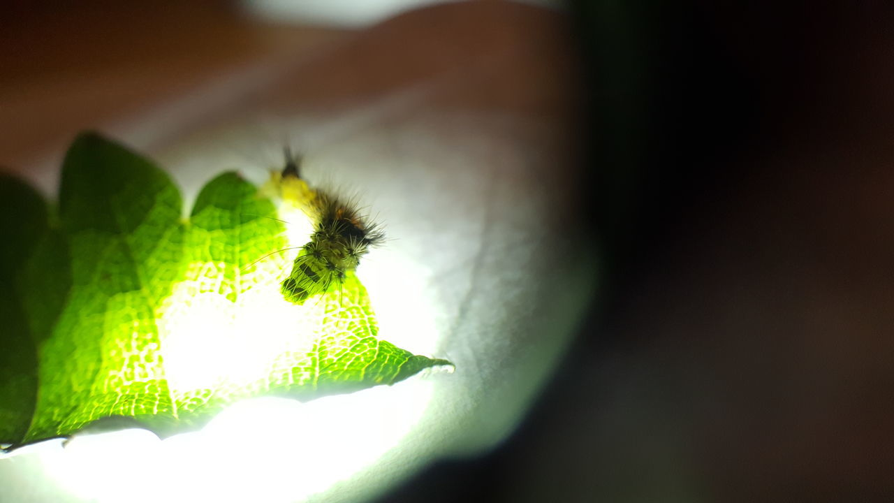 Banded Tussock Moth Halysidota Tessellaris Hairy Catterpillar Hairy Caterpillar Furry Caterpillar Fuzzy Caterpillar Catterpilar Caterpillar Moth Glowing In The Dark Glowing Southern Oregon Leaf Cells