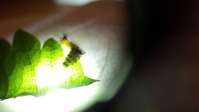 Banded Tussock Moth Halysidota Tessellaris Hairy Catterpillar Hairy Caterpillar Furry Caterpillar Fuzzy Caterpillar Catterpilar Caterpillar Moth Glowing In The Dark Glowing Southern Oregon Leaf Cells