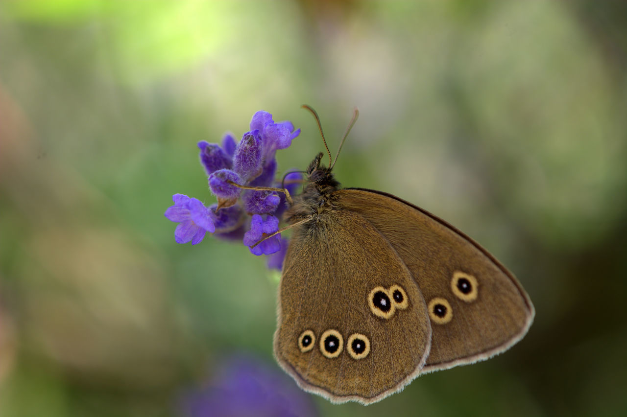 insect, one animal, butterfly - insect, nature, animal themes, animals in the wild, focus on foreground, close-up, butterfly, beauty in nature, flower, outdoors, no people, animal wildlife, day, fragility, plant, freshness, pollination, flower head