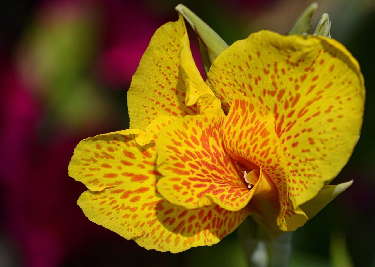 Canna lily Flower Fragility Petal Beauty In Nature Freshness Nature Growth Close-up Flower Head Yellow Plant Blooming No People Day Outdoors
