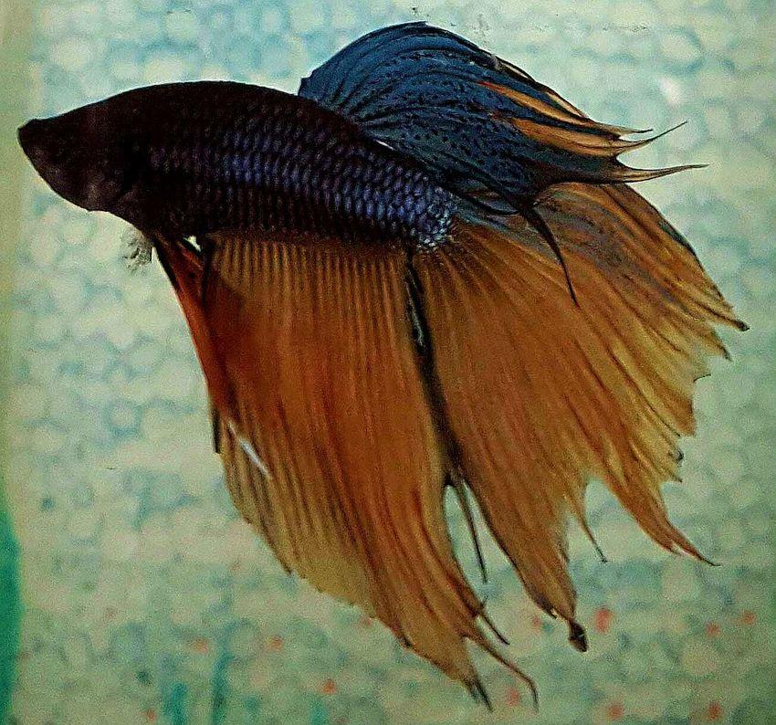 Eyemphotography Fighter Fish Betta Fish Fish Aquarium Fan Tail EyeEm