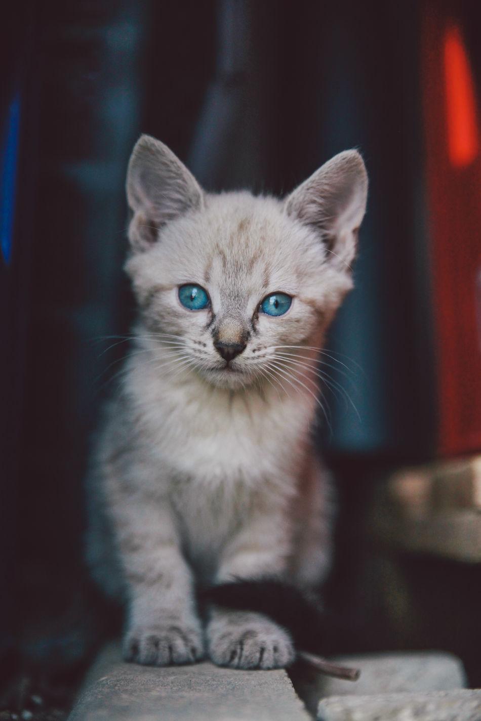 Beautiful stock photos of baby katzen, Animal Themes, Blue Eyes, Close-Up, Domestic Animals