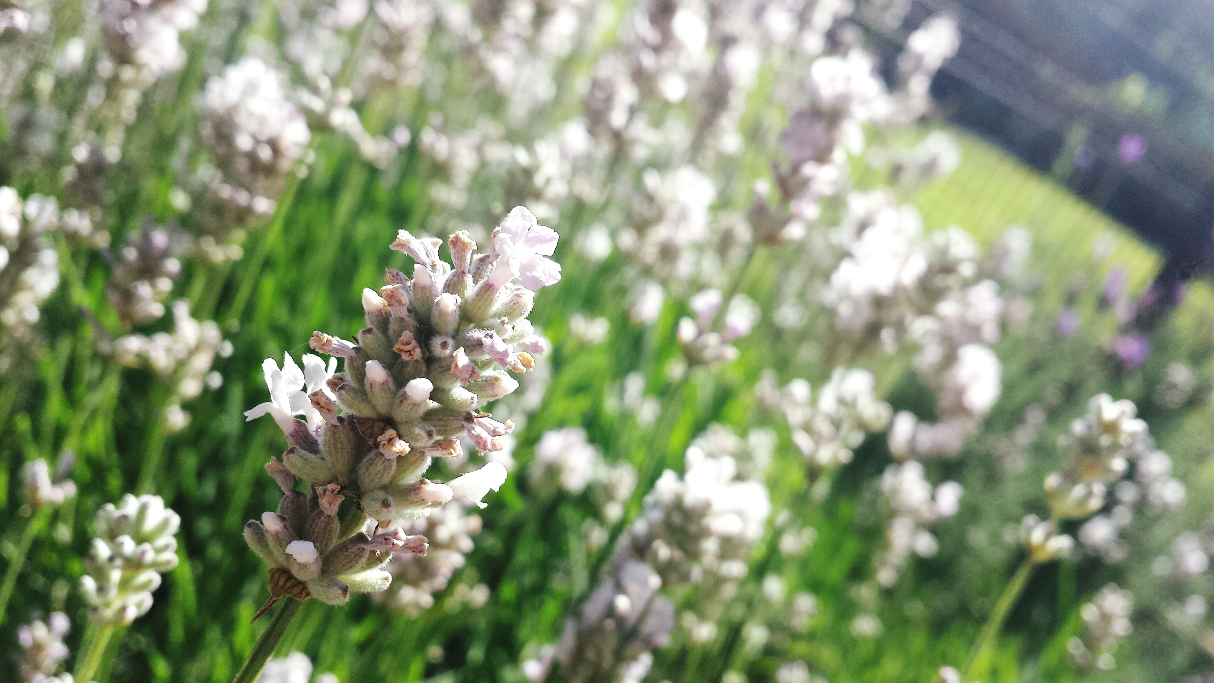flower, freshness, growth, fragility, beauty in nature, focus on foreground, white color, petal, nature, close-up, blooming, flower head, blossom, selective focus, in bloom, plant, springtime, outdoors, day, stem
