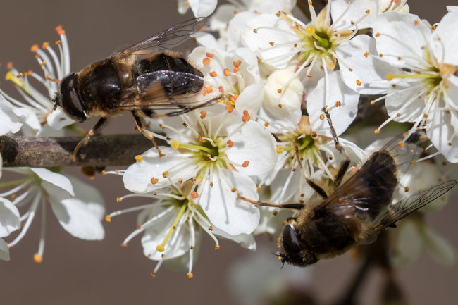 Hoverflies feed on nectar on spring blossom Animal Themes Animals In The Wild Beauty In Nature Close-up Drone Fly Eristalis Flower Growth Hoverflies Hoverfly Insect Nature Nectar One Animal Pertinax Pollen Wildlife