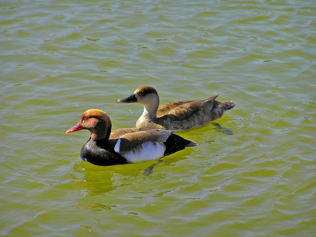 Animal Animal Themes Animal Wildlife Animals In The Wild Beauty In Nature Bird Day Duck Ducks Fauna Lake Nature Nature Netta Netta Rufina No People Outdoors Pair Swimming Tranquil Scene Tranquility Water Water Reflections Wild Wildlife