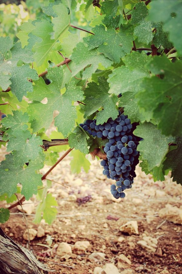 Eyem Nature Lover Lebanon Fruits Nature Grapes Visual Feast Vineyard Kefraya, Lebanon