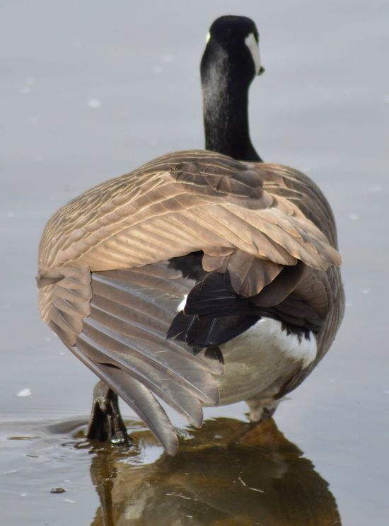 Animal Themes Animal Wildlife Animals In The Wild Best Shots EyeEm Bird Canada Close-up Day Feather  Goose Lake Nature No People One Animal Outdoors Water Wing