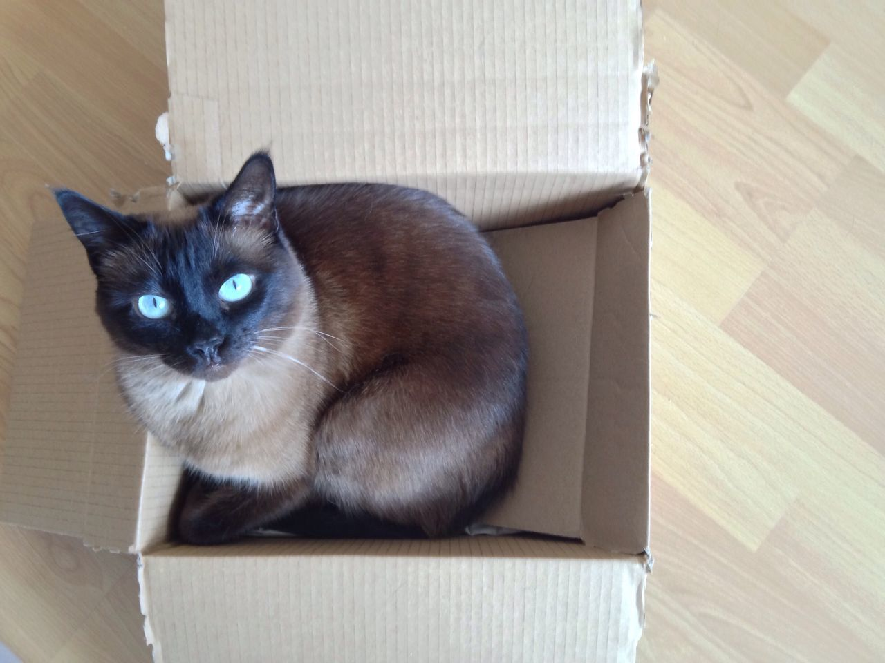 Cat Cat In A Box Domestic Cat Pets Domestic Animals Feline One Animal Cardboard Box Indoors  Animal Themes Looking At Camera Mammal Portrait No People Sitting Siamese Cat
