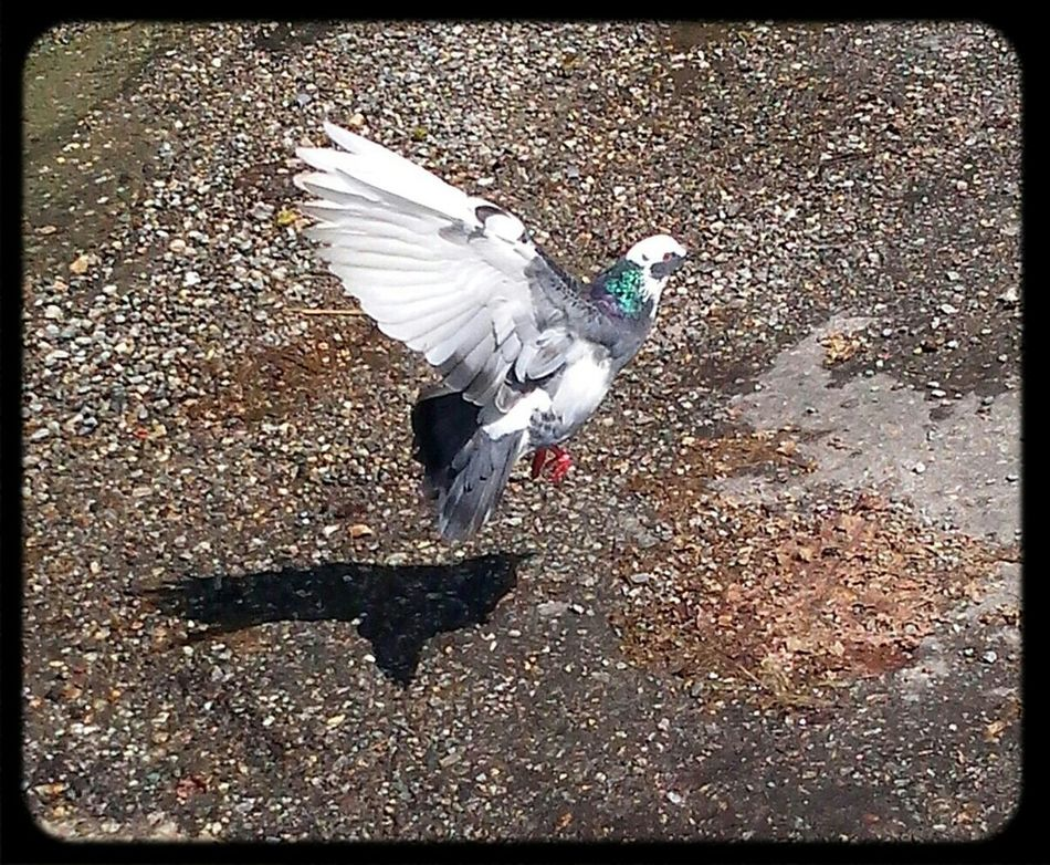 Caught In Action A Bird Flying Just A Click Pigeon