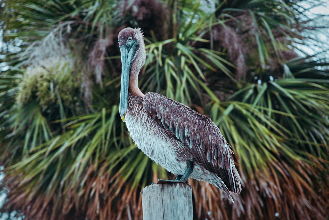 Pelican enjoying the day on old dock posts and signs. Bird Bird Photography Birds Birds Of EyeEm  Nature No People Outdoors Pelican Pelicans