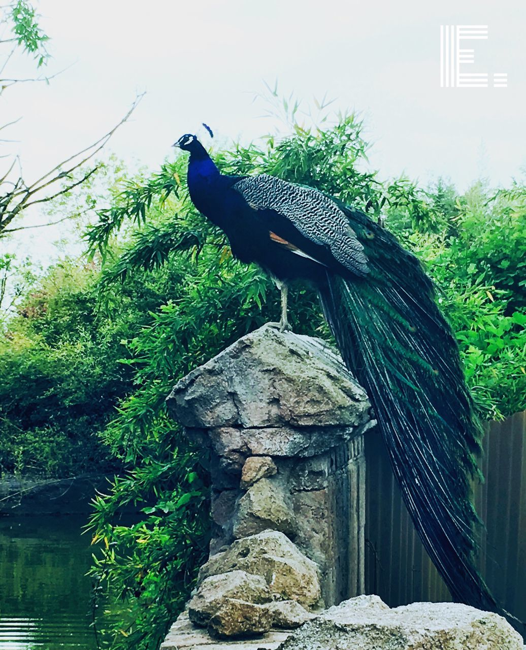 one animal, bird, animal themes, animals in the wild, peacock, nature, no people, animal wildlife, green color, outdoors, tree, day, plant, beauty in nature, perching, peacock feather, close-up, sky