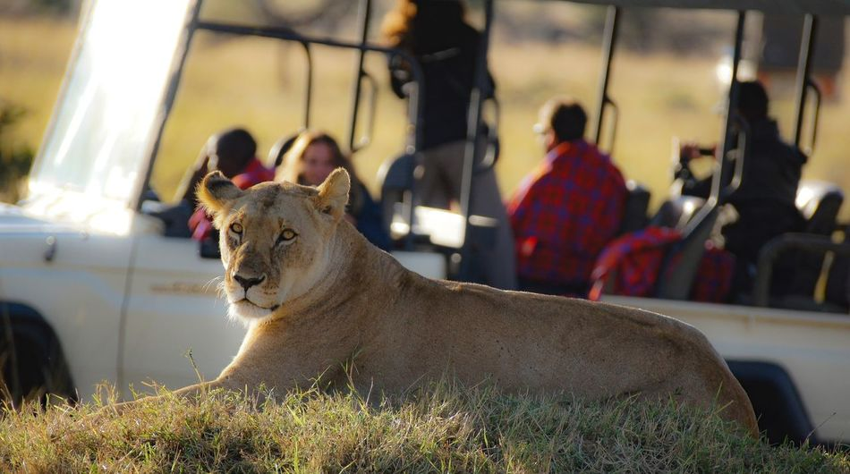 Lioness Queen Animal Themes One Animal Focus On Foreground Travel Photography Kenya Close-up Selective Focus Animal Head  Day Red Rickeherbertphotography