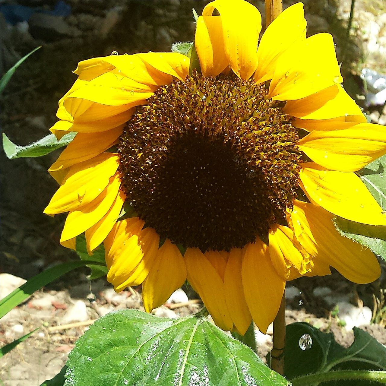 Check This Out Taking Photos The Essence Of Summer 🌞Beautiful Flowers Garden Photography🍃 Flower Collection Flowers_collection 💛👌Beautiful Nature Summertime Essence Of Summer Sunrays Morning Tournesol 🌻🌻🌻 Tournesoles