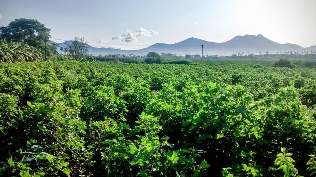 Cotton Plantation Beauty In Nature Cotton Day Green Green Color Growth Hill Landscape Lush Foliage Mountain Mountain Range Nature Outdoors Plant Rural Scene Scenics Sky Tranquil Scene Tree