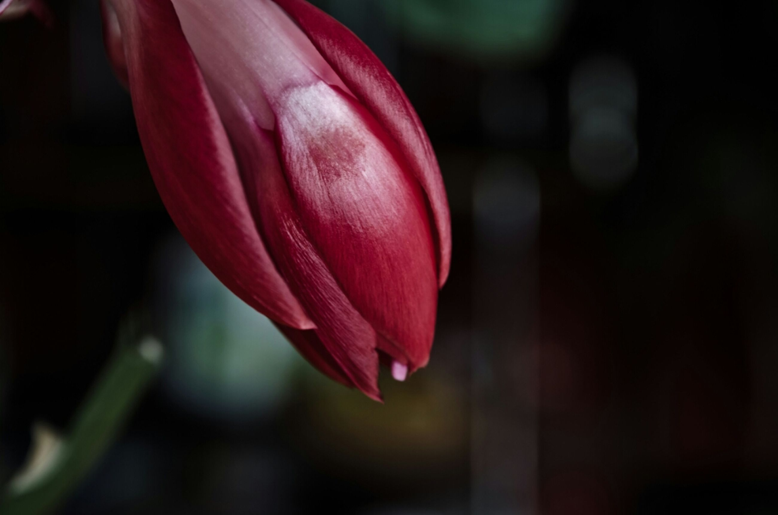 petal, flower, focus on foreground, flower head, fragility, close-up, freshness, red, single flower, selective focus, pink color, beauty in nature, growth, nature, blooming, in bloom, pink, day, outdoors, no people