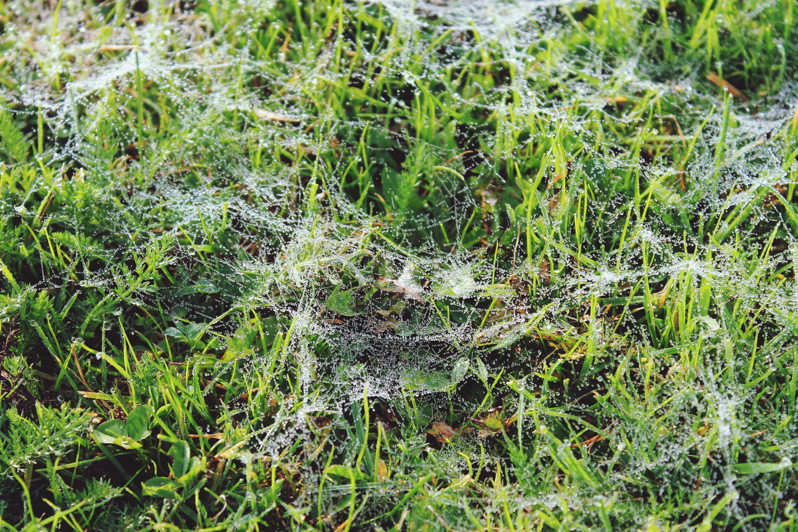 nature, growth, green color, grass, no people, beauty in nature, outdoors, day, field, close-up, full frame, backgrounds, spider web