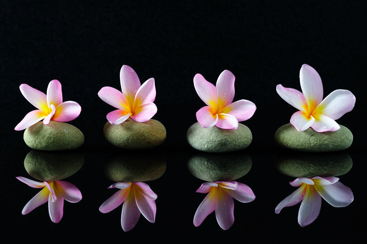 Spa, beauty and wellness concept - Frangipani flowers on a zen stones with reflection, dark background. Backgrounds Black Background Calmness Close-up Flower Flower Head Fragility Frangipani Freshness Nature No People On Black Petal Purity Reflection Relaxation Spa Wellness Yoga Zen Zen Stone