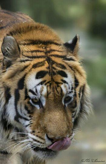 Animal Love Animal Photography EyeEm Animal Lover Animal_collection Tiger Tiger Face Tiger Love