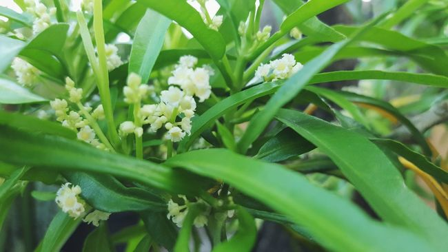 Mosquito Repellant Zodia Floral Flora Flower Nature Plant Leaf Leaves Green Color Outdoors Close Up Close-up