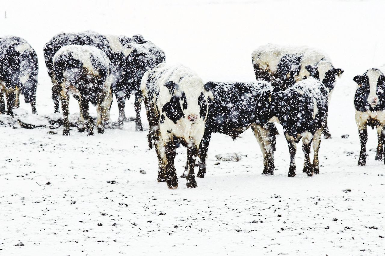 Blizzard conditions EyeEm Gallery Cattle In Snow Farming Farm Life Ranch Life Bovine Cows Cattle Snow Beef Beef Cattle