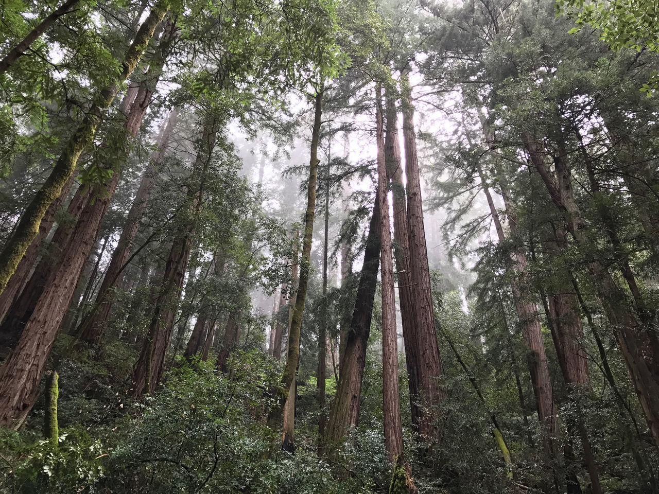 Muir Woods National Monument. California, USA. Photo by Tom Bland. Beauty In Nature California Forest Growth IPhone IPhoneography Landscape Magical Muir Woods Nature No People Outdoors Quiet Redwood Redwood Trees Redwoods Rural Tranquility Trees WoodLand Woods Misty Mist