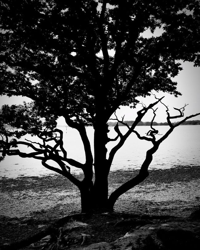 B&w Tree Seascape English Countryside Chichester Harbour
