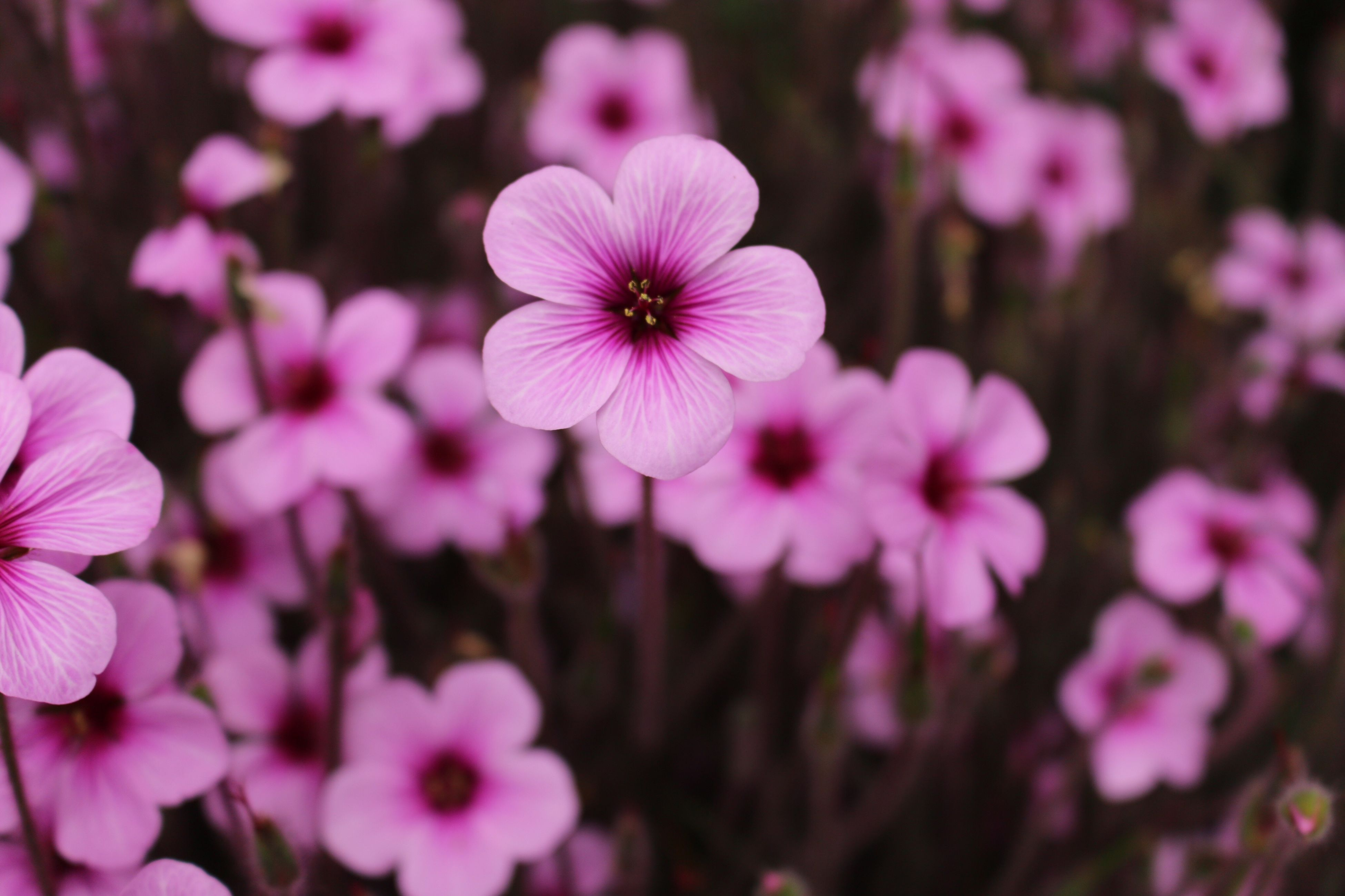 flower, freshness, petal, fragility, growth, pink color, flower head, beauty in nature, blooming, focus on foreground, nature, close-up, in bloom, plant, blossom, pink, selective focus, day, outdoors, park - man made space